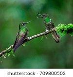 hummingbirds  chestnut breasted ... | Shutterstock . vector #709800502