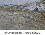Mudskipper Lives In The Mud....