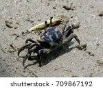 fiddler crab crawl walking on... | Shutterstock . vector #709867192
