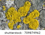 Small photo of Caloplaca lichen on the stone of yellow color.Horizontal.