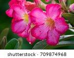 the red pink's azalea flower... | Shutterstock . vector #709874968