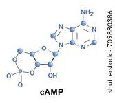 cyclic adenosine monophosphate...   Shutterstock .eps vector #709880386