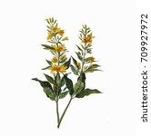 yellow flower botanical... | Shutterstock . vector #709927972
