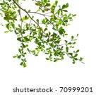 green leaves isolated on white... | Shutterstock . vector #70999201
