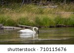 a solitaire trumpeter swan... | Shutterstock . vector #710115676