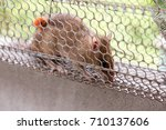 Small photo of Rat in a cage trap address-forsaken freedom.