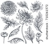 set of hand drawn chrysanthemum ... | Shutterstock .eps vector #710261572