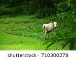 white cow   Shutterstock . vector #710300278
