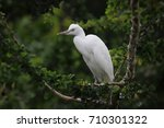 beautiful snowy sub adult egret ... | Shutterstock . vector #710301322