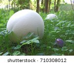 Two Giant Puffballs  Calvatia...