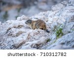 marmot on the rock  | Shutterstock . vector #710312782