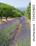 Small photo of Lower Lavender Field Portrait, Siagnon, Apt, Vaucluse, Provence, France