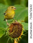 Small photo of American Goldfinch perched on a sunflower eating a seed..