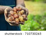 hands with fresh potato picked... | Shutterstock . vector #710730265