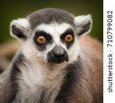 the ring tailed lemur  lemur... | Shutterstock . vector #710799082