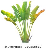 banana leaf on isolate and... | Shutterstock . vector #710865592