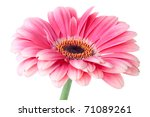 Pink gerbera flower on stem. Closeup.  Isolated on white - stock photo