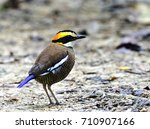 female of banded pitta ... | Shutterstock . vector #710907166