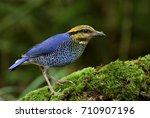 male of blue pitta  hydrornis... | Shutterstock . vector #710907196