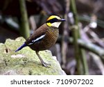 female of banded pitta ... | Shutterstock . vector #710907202