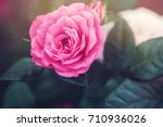 big pink rose on green leaves... | Shutterstock . vector #710936026
