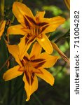 Two Flowers Of Yellow Lily Wit...
