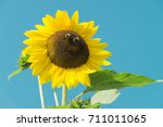 Sunflower With Two Bees Against ...