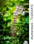flowers of medicinal plant... | Shutterstock . vector #711021472
