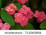 pink euphorbia flowers | Shutterstock . vector #711065806