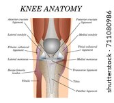 anatomy of the knee joint front ... | Shutterstock .eps vector #711080986