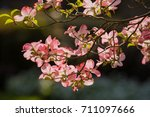 Red And Pink Dogwood Blossoms...