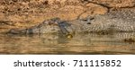 saltwater or estuarine... | Shutterstock . vector #711115852