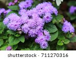 Small photo of Beautiful bluish violet Ageratum in the garden