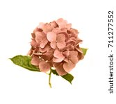 pink hydrangea flower on white... | Shutterstock . vector #711277552