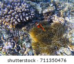 Small photo of Anemonefish in actinia. Exotic island shore shallow water. Tropical seashore landscape underwater photo. Coral reef animal. Sea nature. Sea fish in coral. Undersea view of marine life. Coral landscape