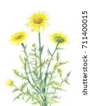 yellow daisies watercolor... | Shutterstock . vector #711400015