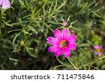 colourful calliopsis flower... | Shutterstock . vector #711475846