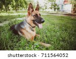 german shepherd  german... | Shutterstock . vector #711564052