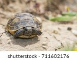 Baby Turtle  The Spur Thighed...