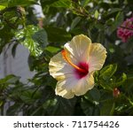 showy yellow suffused with pink ...   Shutterstock . vector #711754426