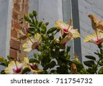 showy yellow suffused with pink ...   Shutterstock . vector #711754732