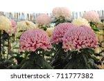 chrysanthemum  sometimes called ... | Shutterstock . vector #711777382