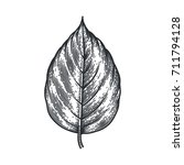 engraving poplar leaf isolated... | Shutterstock .eps vector #711794128