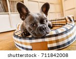 Stock photo french bulldog dog relaxing in living room or daydreaming in pet bed thinking about life 711842008