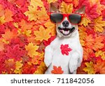 jack russell dog   lying on the ... | Shutterstock . vector #711842056