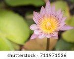 lotus  purple  blooming  yellow ... | Shutterstock . vector #711971536