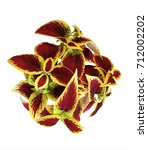 Small photo of The burgundy with yellow coleus on white background