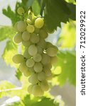 Small photo of vertical image of plump white grapes hanging on a vine, backlit buy the morning sun bokeh affect in the green background
