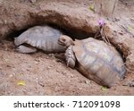 Stock photo african spurred tortoise at burrow entrance big geochelone sulcata in hollow the african spurred 712091098