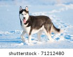 Portrait Of Siberian Husky On...